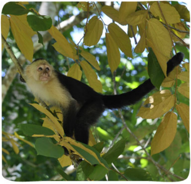osta Rica White faced Monkey