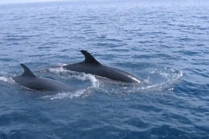 dolphins swimming on your boat ride to Isla Tortuga