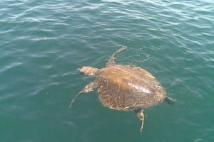 You may see a sea turtle while you are snorkeling at Isla Tortuga, Costa Rica