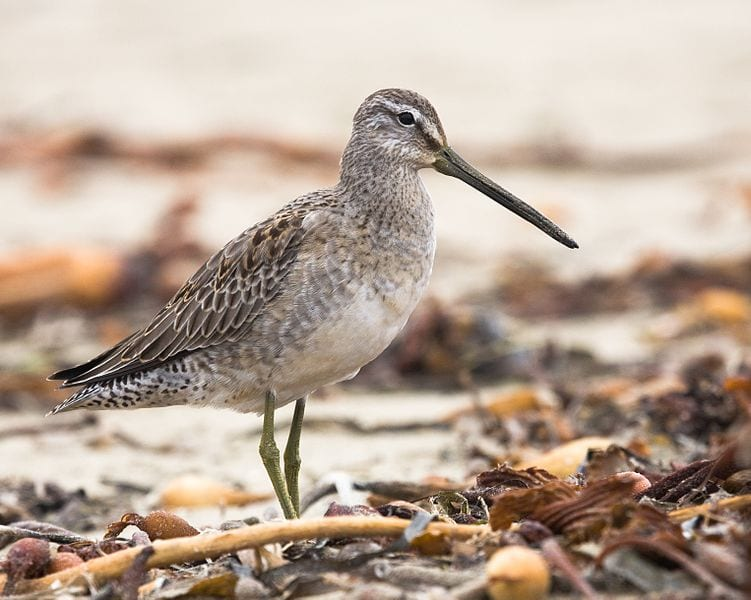 long-billed-Dowitcher